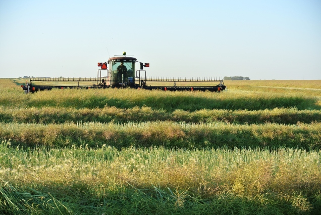 Usually one of the first activities of harvest is swathing canola.