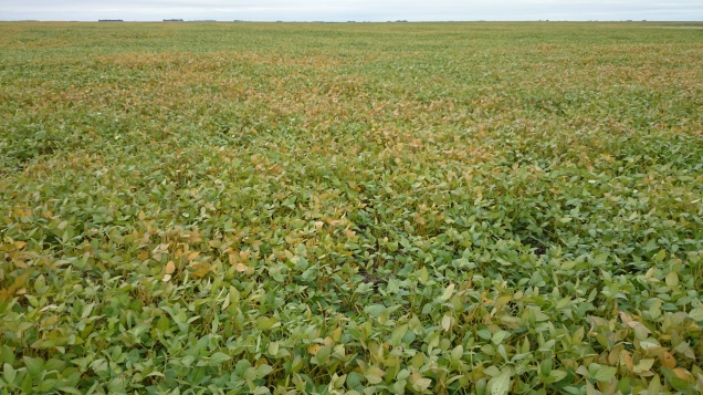 These soybeans are not ready for a frost yet.