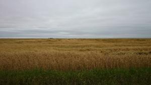 Immature Wheat